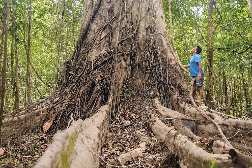 Náš průvodce Karapuru promlouvá kmohutnému stromu samauma (vlnovec), k němužcítí velký obdiv
