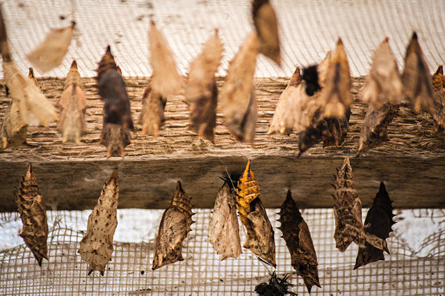 Návštěvníci uvidí různé fáze života motýla.