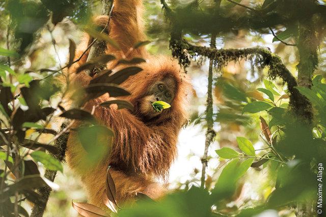 Ke dvěma dosud známým druhům  orangutanů přibyl nedávno třetí