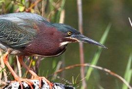Další pták chytřejší než leckterý člověk. Rybáři se od amerických volavek mají co učit