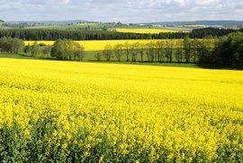 Fakta a mýty o řepce. Co může zastavit její pěstování? Pobírají na ni zemědělci dotace?…