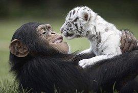 Utěšovat kamarády umí i hloupí hlodavci. Elektrickými šoky vědci prokázali empatii