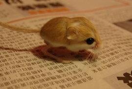Nejmenší savec na světě, trpasličí myš, hlodavec z rodu Tarbíkovití, dospělé samice váží maximálně 3.75 g.