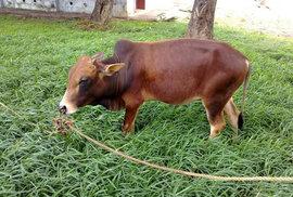 Kráva Vechur. Dosahuje maximální délky 124 cm a výšky 87 cm.
