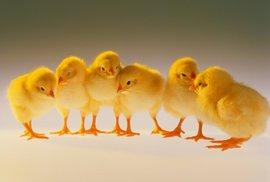 Cesta k dokonalému masu: V Číně monitorují život kuřat pomocí GPS náramků