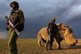 Chovatelé nosorožci raději uřízli roh, ale přesto ho střeží ozbrojená ochrana.