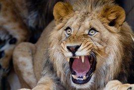 Muže podezřelého z pytláctví v Jižní Africe zaživa sežrali lvi. Zbyla po něm jen hlava
