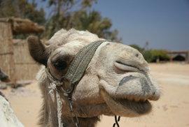 V Saúdské Arábii uzavřeli tradiční prodejnu s velbloudí močí. Tu doporučuje pít i Korán