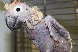 Papoušek jak z Vodňan