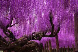 144 letá vistárie v Japonsku