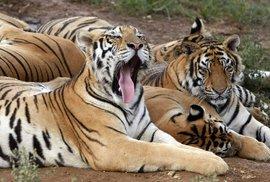 Tygrů je ve volné přírodě jen několik tisíc