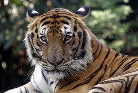 Poprvé za více než 100 let roste ve volné přírodě počet tygrů, jenže na světě již žije…