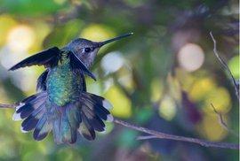 Létající drahokamy - kolibříci jsou endemičtí ptáci a vystují se jen na americkém kontinentě