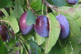 Ovocnáři ztratí kvůli letošním mrazům až 400 milionů, ovoce v obchodech však prý nepodraží