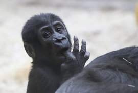 Pražská ZOO by na podzim měla začít stavět nový pavilon goril, o ten se podělí se vzácnými luskouny