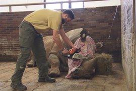 Zoo ve Dvoře Králové začala řezat nosorožcům rohy, na ochranu před pytláky