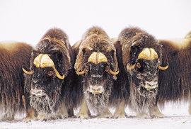Pižmoň severní žil v době ledové i u nás, dnes jej najdeme jen v některých částech Arktidy