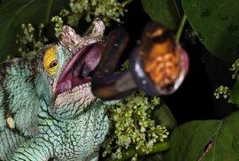 Vystřelovací jazyk chameleona dostihne hmyzí kořist ještěra za méně než sedm setin sekundy. Díky bleskové rychlosti útoku může chameleon lovit dokonce i včely a vosy, které před smetí ani nestihnou vytáhnout své žihadlo.
