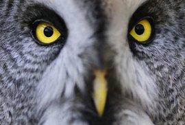 Hlava puštíka bradatého připomíná oživlou parabolu, jež směruje zvuk přímo k uším jedné z největších sov. Díky asymetrické poloze obou uší slyší puštík prostorově a dokáže podle zvuku přesně lokalizovat svou kořist.