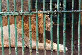 Lev na Vsetínsku zabil chovatele, policisté ho zastřelili. Muž dostal dříve několik …