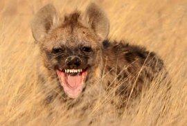 Hyeny, zlověstně se chechtající amazonky buše