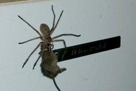 Děsivá výměna rolí v přírodě. Video zachytilo, jak pavouk ulovil myš