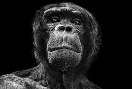 NeLidské? Polský fotograf zachytil na snímcích emoce opic v zoo