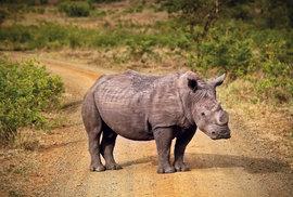 Nosorožec suřezaným rohem. Ochránci často odebírají rohy zvířatům preventivně, aby pytláci neměli důvod je zabíjet.