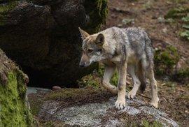 Farmáři na Broumovsku se bojí vlků, ochranáři naopak varují před jejich likvidací