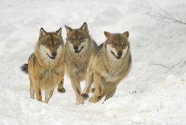 Vlci se projevili jako týmoví hráči