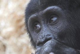 Gorily z pražské ZOO.