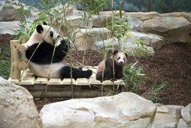 Už půl roku je hlavní atrakcí zoologické zahrady Beauval nedaleko francouzského města Tours pandí miminko a jeho matka. Tato soukromá zoo je totiž jedna z mála evropských zahrad, která pandy velké chová. Vedle nich je tu ještě dalších 3000 druhů zvířat, na něž se přijde podívat 900 tisíc návštěvníků každý rok.