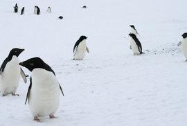 Vědci objevili díky satelitním snímkům na Antarktidě obří kolonii tučňáků, má 1,5…