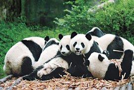 Triumf populárního medvídka aneb Čínské úspěchy pandí diplomacie