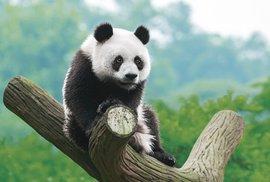 Medvídci panda: Černobílé hvězdy každé zoo, které návštěvníci milují