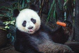 Panda je tak sympatická, protože oblými tvary aneohrabaností  připomíná dítě