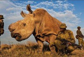 Další úspěch v záchraně nosorožců: Vědci vytvořili dvě embrya téměř vyhynulého nosorožce bílého