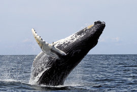 Whale watching: Fascinující záběry velryb z dronů pomohly vědcům odhalit tajemství svlékání z kůže