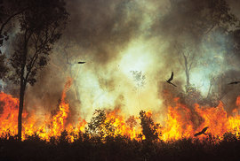 Ptačí žháři: Proč dravci v Austrálii záměrně zakládají a rozšiřují požáry