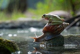 Žába může být i pochoutkou...