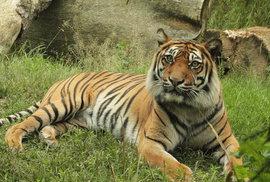 Nevycházejte z domu! Na královéhradecku utekli z klece dva tygři a lev