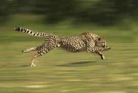 Tajemství nejrychlejší kočky světa. Gepardi mohou sprintovat díky uchu
