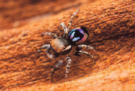 Jedineční pavouci ohromují samičky duhovými barvami na zadečku. Mohou pomoci při výzkumu vesmíru