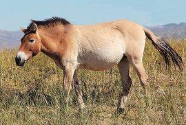 Konec jedinečnosti: Kůň Převalského není divoký