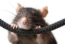 Tlustá krysa neuvěřitelně zhubla díky speciálnímu čipu