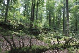 Les zastavený v čase. To je Žofínský prales v Novohradských horách