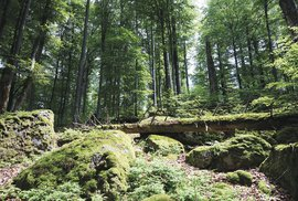 Žofínský prales