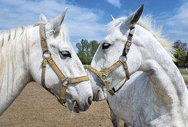Starokladrubáci, koně císařů a králů aneb Na návštěvě národního hřebčína Kladruby…