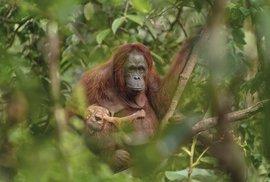Czech Press Photo zná své vítěze. Fotografií roku je snímek samice orangutana s…
