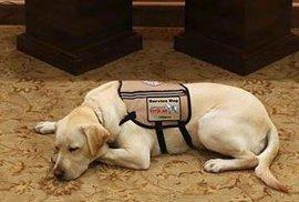 Labrador Sully, asistenční pes zemřelého prezidenta George Bushe staršího, bude teď pomáhat zraněným vojákům.